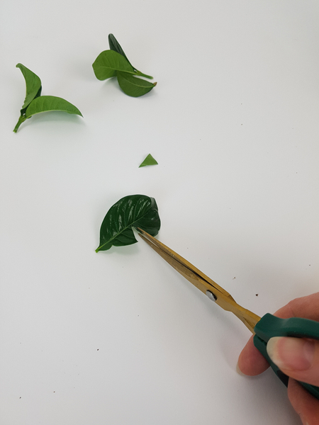 Cut a small wedge in the waxy foliage
