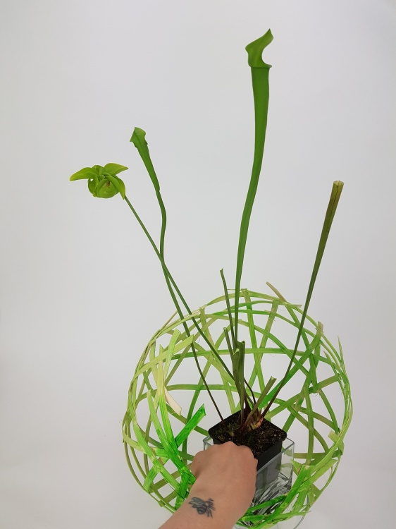 Set the plant in the cane globe