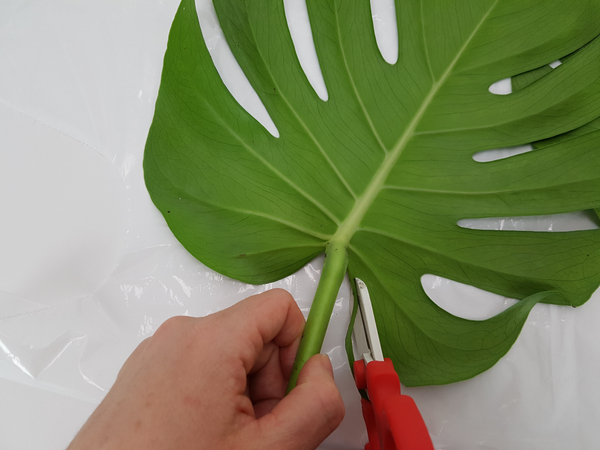Cut away the leaf section between the prominent veins.