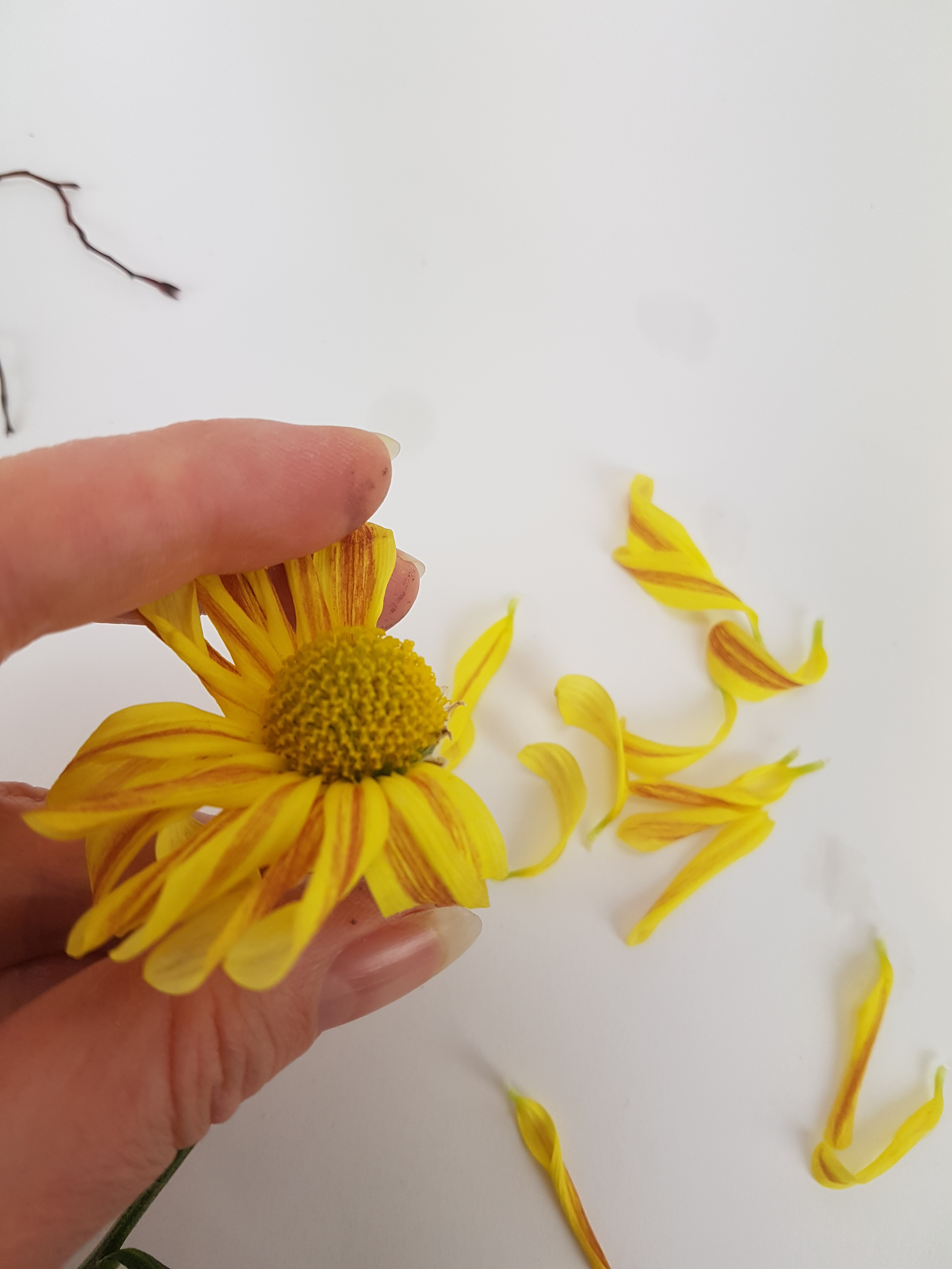 Pick the petals from a chrysanthemum