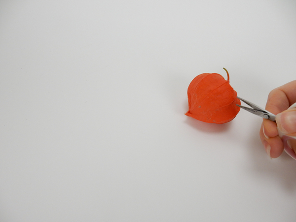 Snip open a Physalis pod with sharp scissors