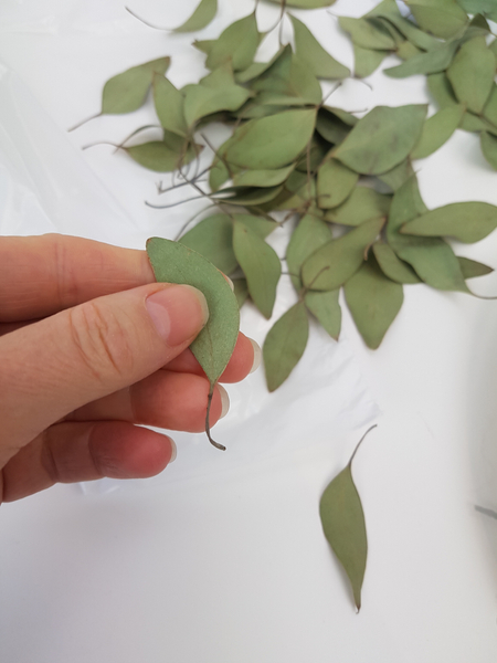 Cut the Eucalyptus leaves from the twigs leaving the stem on the leaves.