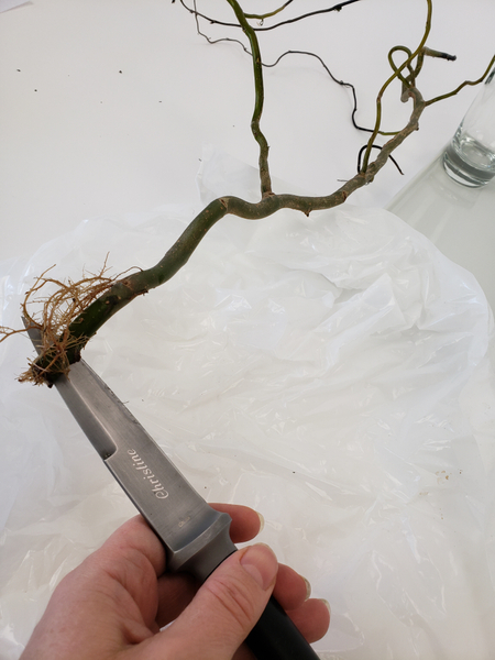 Cut a slit into the twig between the roots