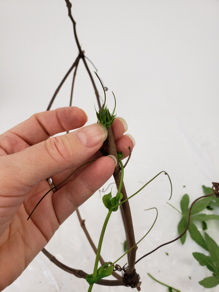 Secure the bud of the vine to the one end of the dried vine
