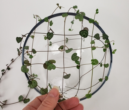 Weave a Ceropegia Woodii Vine grid to catch your flowers