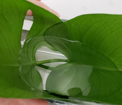 Two leaf lining your container to shelter your orchids